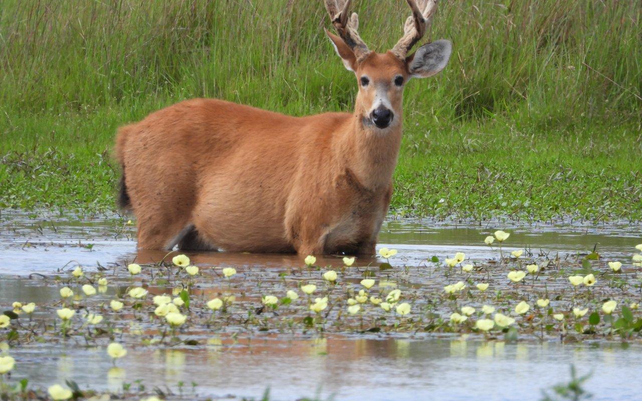 Swamp deer, native species in Esteros del Ibera
