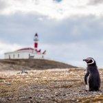 Penguin Isla Magdalena Chile