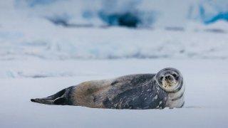 crabeater seal - antarctica cruise