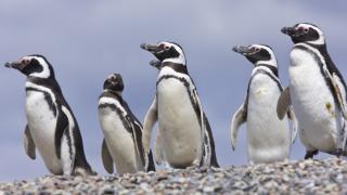 punta tombo penguins