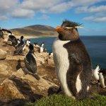 southern rockhopper penguin standing on the grass, Falkland Islands